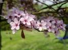 Kirsche im Frühjahr